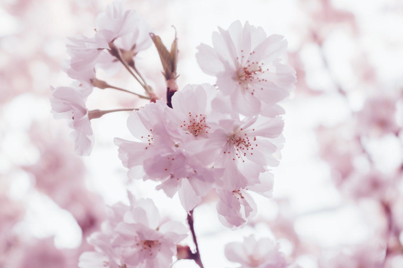 branche cerisier fleurs centre tao nancy